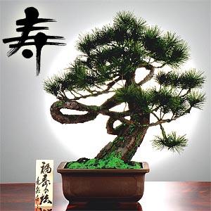 加瀬谷青岳作 「福寿松」画像